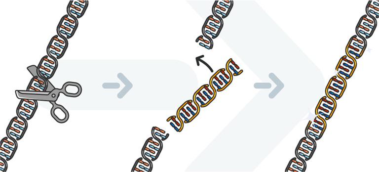 Prozess Genschere: DNA-Abschnitt wird herausgetrennt und neuer Abschnitt eingesetzt